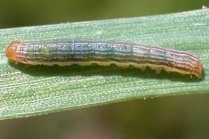 Gestion des ravageurs : secteur grandes culturess-insectes-maladies
