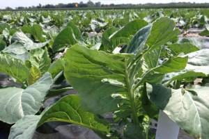Essais d'introduction de trichogrammes pour le contrôle de chenilles dans la culture du chou-fleur