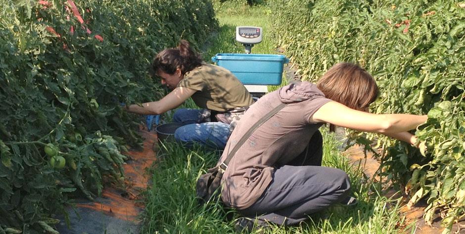 Essais technique de greffage des tomates de champ pour lutter contre les maladies du sol
